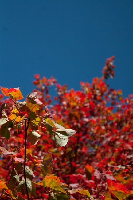 Red leaves, blue sky--Blank Pages